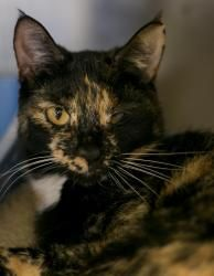 Paris is an adoptable Tortoiseshell Cat in Jersey City, NJ. Paris was brought to the shelter when her owners were moving. She lived in their home for four years & would very much like to return to the comforts of a home, preferably her new forever home.