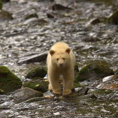 Ours Kermode - Photo : Spirit Bear Lodge Canada Trip, Canada Travel, Spirit Bear, Brown Bear, Animal Kingdom, Wildlife, The Incredibles, Dreams, Animales