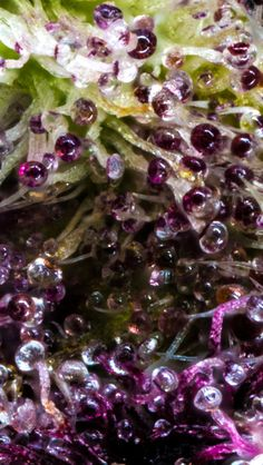 A closer look at the best nugs, grows, events in the world of marijuana. PURPLE TRICHROMES