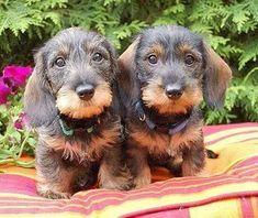 Wirehaired Dachshund puppies.