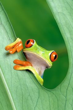 Here I am ~ Rmsp (Tree frog)