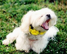 Don't yawn, it's Sunday and #MarsDogShop Day!💛💚💛💚 If you want to make your dog stylish, you need beautiful collars from #MarsDogShop❤💙💚💛💜 👉👉👉Link in bio👈👈👈 Have a nice weekend🎉 Double tap and follow👑 #dog #collar #handmade #dandelion #etsy #etsyshop #store #etsyseller #etsylove #etsyfinds #Sunday #yawn #etsystore #shitzu