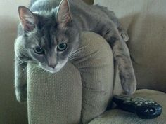 Sam our laid back senior cat tries the remote looking for Animal Planet.