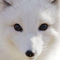 Arctic Fox....