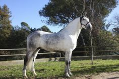 Horses for sale - Hector XVI | Our horses for sale | Yeguada la B