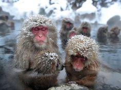 Snow Monkeys Jigokudani hot spring #japan #nagano