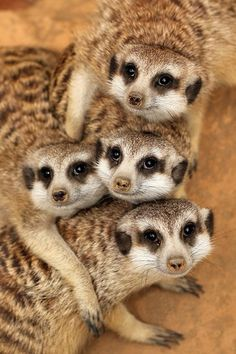 Meerkats: part of the mongoose family and are found in parts of South Africa
