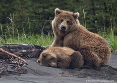 Alaska Brown Bear mama watching over her Sleeping Cub.