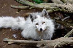 Arctic Fox by Godimus Michel - National Geographic Your Shot