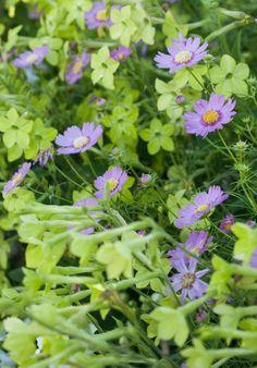 Valkotupakka (Nicotiana alata) 'Lime Green' ja punakosmos 'Anemone Pink' http://www.viherpiha.fi/kesakukat/rakkaat-kesakukat-2-kukkatarhan-varileikki