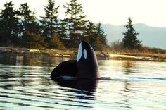 SevenSeasOfFreedom  T11 Wakana and her son T11A Rainy on October 3, 2015 Wakana was born in 1963 which makes her 52 years old. She gave birth to Rainy in 1978 meaning he's now 37 years old. Photos by Sooke Coastal Explorations