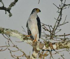 Tanatau, Slaty-backed forest falcon ( Micrastur mirandollei)