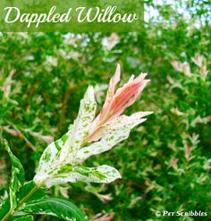 """Dappled Willow: Your Yard's Wet Spot Dream! The pinkish-salmon colored """"flowers"""" in Spring are actually the new leaves!"""
