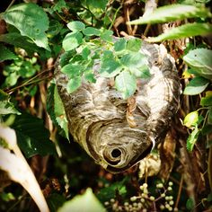 Wespennest Wasp Nest, Ad Home