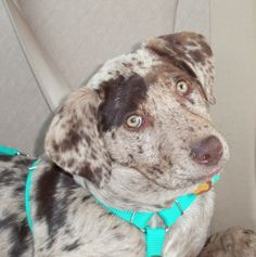 Catahoula Leopard Dog  Coco