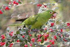 Juvenile Cherry Headed Conure
