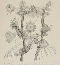 Turritopsis nutricula    From: Medusae of the world, by Alfred Goldsborough Mayer