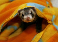 I don't care what you say or think, ferrets are precious and one day I will own one!