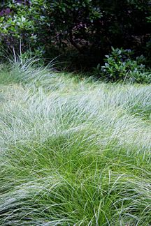 "Carex praegracilis ""California Field Sedge"" - Buy Online at Annie's Annuals & Perennials"
