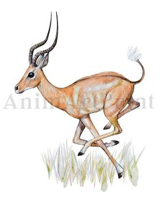 Antelope Fine Art Print created from my Original Watercolor Painting.  PLEASE NOTE, THIS IS A DIGITAL DOWNLOAD ONLY. No physical product will be shipped and the frame is not included.  You can print the files at home, or take them to your local printing shop or photo studio, or upload them to an online printing service and have it delivered to your door. For best results I would recommend using professional printing services.  Get 30% DISCOUNT when you purchase 3 or more digital (instant…