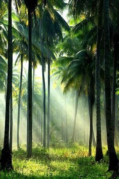 Lush Palm Trees, Koh Kood, Thailand