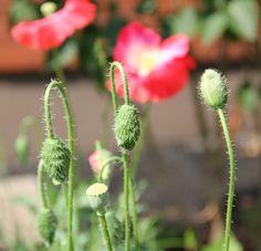 Silkkiunikoiden nuput - Poppy buds