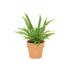 "9"" Lemon Button Fern in Pot ($25) ❤ liked on Polyvore featuring home, home decor, terracotta pots, green pot, terra cotta pots and green home decor"