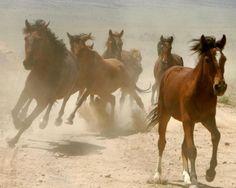 Caballo (Equus ferus caballus)
