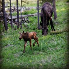 A baby moose near Moonlight at Big Sky Resort, Montana. We usually see a mama moose and her baby on our labor day yoga and hiking retreat! http://www.bigskyyogaretreats.com/yogahiking.html