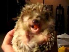 ▶ Hedgehog eating carrot! Very Cute! - YouTube