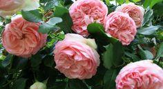 Quelle plante au pied d'un rosier? Balcony Garden, Garden Plants, Geranium Vivace, British Garden, Geraniums, Diy Flowers, Flowers Garden, Garden Planning, Horticulture
