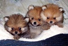 Pom puppies!! My boy Shelton looks just like these puppies!