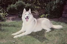 Siberian huskies are known for being a high-energy breed that can get destructive if not trained correctly. Your husky digs because of his natural instinct to make a shelter and hide his food in the ...