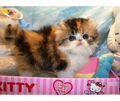 Persian cats las vegas nv