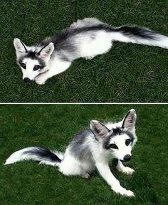 Marble fox. So very beautiful.