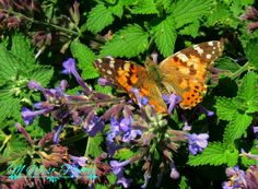 Another orange butterfly on flowers taken by M West at age 10 yrs old