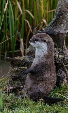 Otter Has a Very Cute Way of SittingVia 4652 Paces[Scottish Deer...
