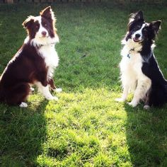A handsome pair of Border Collies...