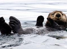 A sea otter floats in Kachemak Bay, Alaska.     Human beings have a long history of persecuting apex predators such as wolves, tigers & leopards. The loss of these predators—animals at the top of the food chain—has resulted in ecological, economic & social impacts around the globe. Rarely do the predators fully recover from human oppression, and when they do, we often lack data or tools to assess their recovery.  The sea otters in Glacier Bay, Alaska, are an exception. In a recent…