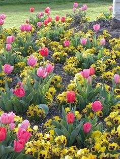 Spring with tulips and pansies blooming so pretty! I am so excited for all my tulips to come up this year. They are so beautiful