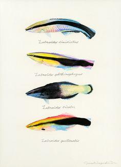 "Labroides dimidiatus / Bluestreak cleaner wrasse / ""Honsomewakebera"" (""ホンソメワケベラ Labroides dimidiatus : uonofu…"