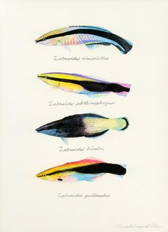 "Labroides dimidiatus / Bluestreak cleaner wrasse / ""Honsomewakebera"" (""ホンソメワケベラ Labroides dimidiatus : uonofu…"