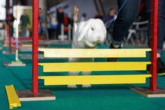 """Un coniglio durante una gara di """"Kaninhop"""", il salto agli ostacoli per conigli, a Stoccarda, Germania (PressLaPresse) - Il Post"""