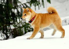 Shiba!!!
