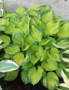 Rainforest Sunrise Hosta Product Information: Light: Full to partial shade Height: with Bloom Time: Summer Size: Bareroot Zones: 3 to 8 Hosta Plants For Sale, Shade Garden Plants, Indoor Plants, House Plants, Hosta Varieties, Hosta Gardens, Border Plants, Heuchera, Foliage Plants