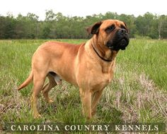 Bull Mastiff. Harley's color except for my favorite white spot on his chest that gets him every time.