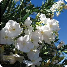 """""""Oleander with white flowers, is a small shrub and should be avoided if you have small children or pets, is one of the most poisonous of commonly grown garden plants."""""""