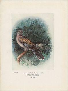 Turtle Dove, Antique Bird Print, to Frame, Plate 43, 1910, George James Rankin, Landsborough Thomson