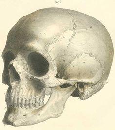 anatomy of human skull Anatomy Bones, Skull Anatomy, Human Anatomy, Grays Anatomy, Body Drawing, Anatomy Drawing, Anatomy Reference, Art Reference, Human Skull