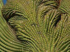 Detail of Cristata, Unusual Saguaro by cobalt123, via Flickr